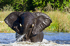 Male elephant bathing in the Khwai River in Botswana (African elephant)