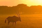 Gemsbok at sunrise in the Kalahari Desert in Botswana (Gemsbok)