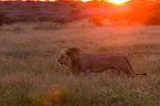 Lion walking at sunrise in the bush in Botswana (African lion)