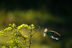 Bee-eater flying away from its perch in Robinia Romania (European Bee-eater)
