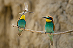 Bee-eater female with dragonfly Danube delta Romania (European Bee-eater)