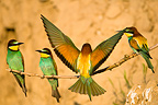 Two couple of Bee-eaters perching on branch in loess cliff (European Bee-eater)