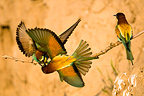 Territorial fighting between European Bee-eaters Romania (European Bee-eater)