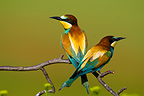 Couple of European Bee-eaters sitting on perch Romania (European Bee-eater)