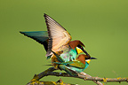 Couple of European Bee-eaters copulating Romania (European Bee-eater)