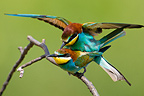 Couple of European Bee-eaters copulating, Romania.