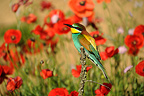 European Bee-eater on a branch and Poppies France (European Bee-eater)