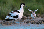 Pied Avocet and stretching chick Marais Breton France (Pied Avocet)