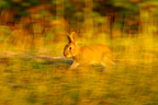 European Rabbit running in the grass Marais Breton France (European rabbit)