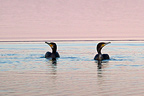 Cormorants on the water at dawn Salins de Pesquiers France (Great Cormorant)