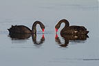 Couple of Black Swans face to face Salins des Pesquiers (Black swan)