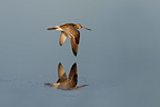 Godwits in flight over water Salins des Pesquiers France (Bar-tailed Godwit)