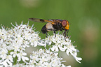 Hover-fly on umbelliferous flower Vosges France