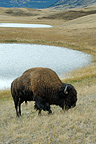 American bison grazing  in the Prairie Alberta Canada  (American Bison)