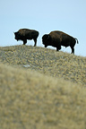 American bisons in Prairie Waterton Alberta Canada (American Bison)