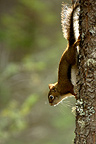 Red squirrel down along a trunk Kootenay Canada (American Red Squirrel)