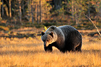 Brown bear walking in a clearing in autumn Finland  (Brown bear)