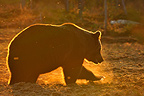 Brown bear backlighting in a clearing in autumn Finland� (Brown bear)