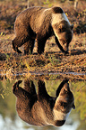 Brown bear and its reflection in a lake in fall�Finland (Brown bear)