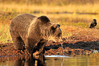 Brown bear drinking from a lake in fall Finland (Brown bear)