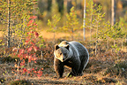 Carpathian brown bear and Rowan in a clearing in autumn, Finland.