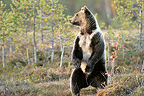 Brown bear standing in a clearing in autumn Finland  (Brown bear)