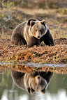 Brown bear and its reflection in a lake in fall Finland (Brown bear)