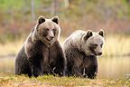 Brown bears sitting in a clearing in autumn Finland� (Brown bear)