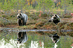 Brown bears and their reflection in a lake in fall Finland (Brown bear)