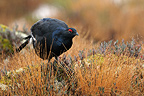 Male Black Grouse in a clearing in fall�Finland (Black Grouse)