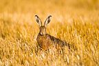 Hare sitting in stubble field in Bavaria Germany (European Hare )