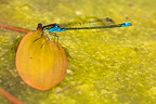 Red-eyed damselfly sitting on leaf in water pond Germany