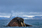 Walrus in the shallow water Prins Karls Forland Svalbard (Walrus)