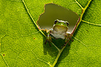 European Tree Frog looking through a hole in leaf Bavaria
