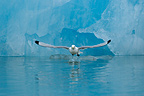 Kittiwake flying away Kongsfjorden Svalbard (Kittiwake)
