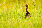 Glossy Ibis standing in moist meadow Danube delta Romania (Glossy ibis)