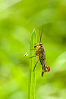 Scorpion fly sitting on grass culm together with tiny spider
