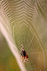 Epeira marbled on its web Alsace France (Spider)