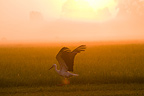 White Stork in moist meadow and sunrise and fog Bavaria (White Stork)