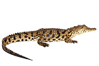 Young Nile crocodile (Nile Crocodile )