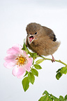 Young Bullfinch on a branch of Dog Rose France (Bullfinch)