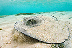 Skate resting on sandy bottom Ilot Huon in New Caledonia  (Stingray)