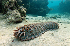 Prickly redfish (sea Cucumber) on a sandy bottom, New Caledonia