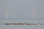Brent Geese gathering in  Vend�e France (Brent geese)