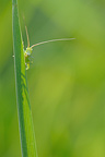 Green Grasshopper on blade of grass in Normandy France