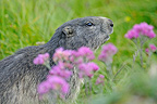 Alpine marmot and purple flowers Alps France� (Alpine marmot )