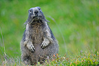 Marmot Alpine supervisor in the grass Alps France (Alpine marmot )