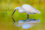 Egret and reflection area's natural Allan France  (Egret)