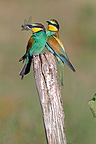 European Bee-eaters with an insect in its beak on a pole (European Bee-eater)