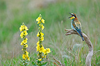 European Bee-eater singing on a branch�France (European Bee-eater)